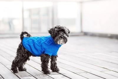青いセーターを着ている犬