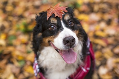 紅葉を頭に乗せて笑顔を見せる犬