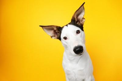 首をかしげる白黒の犬