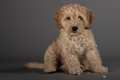 コッカープーの子犬