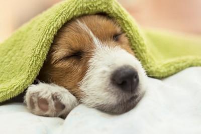タオルをかぶって眠る子犬