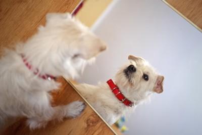 鏡を見る赤い首輪をした白い犬