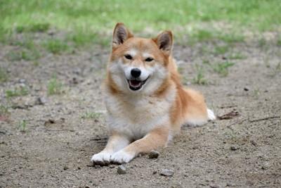 地面に伏せをする笑顔の柴犬