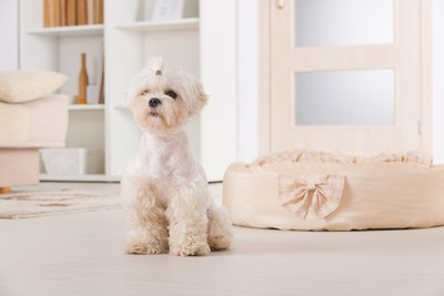 部屋の中でオスワリをしている犬