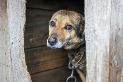 犬小屋の中から悲しそうにこちらを見つめている犬