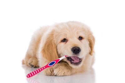 歯ブラシをかじる子犬