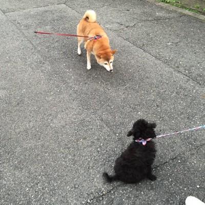 距離をとるエマさんと柴犬