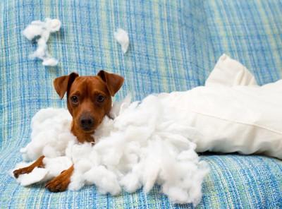 クッションを破壊した子犬