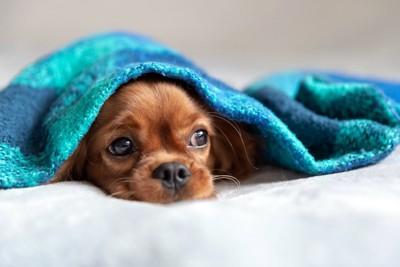 青いブランケットをかぶって顔を出している犬