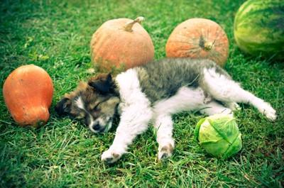 野菜の間で眠る犬