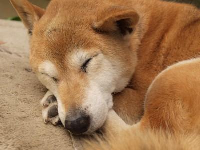昼寝をしている柴犬