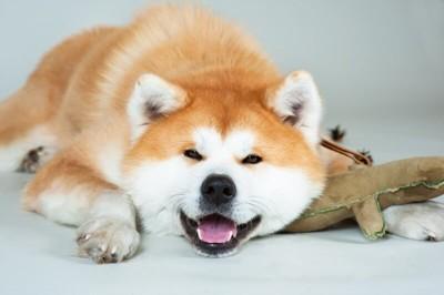 おもちゃを枕にしている秋田犬