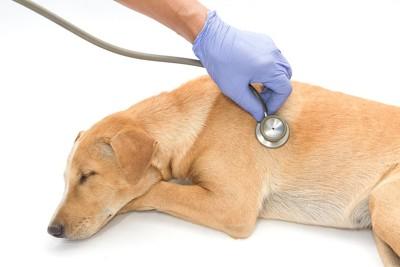 聴診器で診察を受けている薄茶色の犬