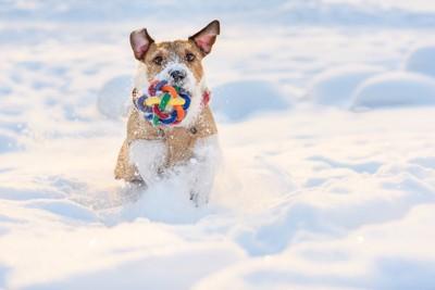 雪の中でおもちゃを咥えたジャックラッセルテリア