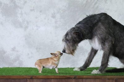 においを嗅ぎ合う大きさの違う2匹の犬