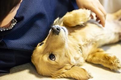 飼い主の横で寝ながら上を向いている犬