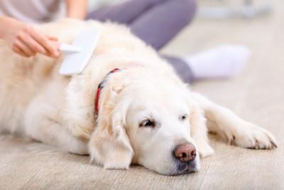 床に寝そべってブラッシングされている犬