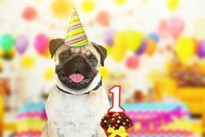 1歳の誕生日パーティーをしているパグ