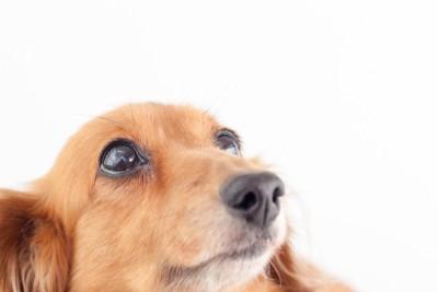 上を見上げる犬
