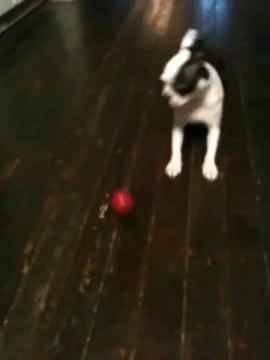 ボールを見る犬