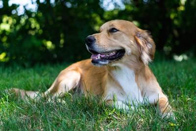 芝生の上に気持ちよさそうに寝そべる犬