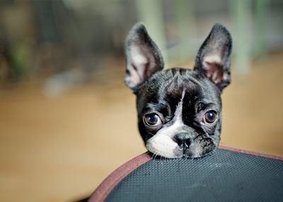 あご乗せしているボストンテリアの子犬
