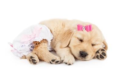 おむつをつけ眠る子犬