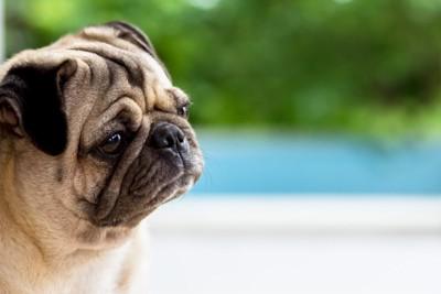 悲しそうな表情のパグ