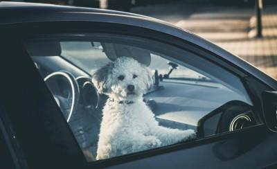 車から外を見ている犬