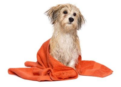 犬とオレンジのタオル