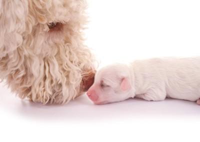 子犬の匂いを嗅ぐ母犬の顔アップ