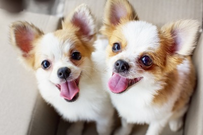 笑顔のような表情の二頭のチワワ