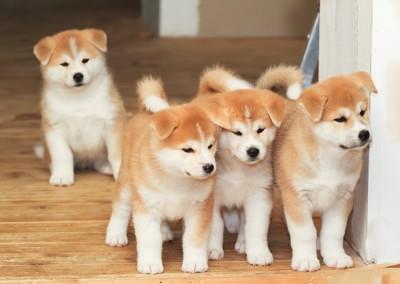 4匹の秋田犬の子犬