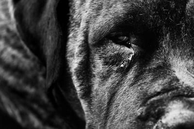 涙やけがある黒い犬の顔アップ