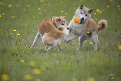 芝生で一緒にボール遊びをする二匹の柴犬