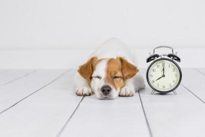 目を閉じて伏せている犬、アラーム時計