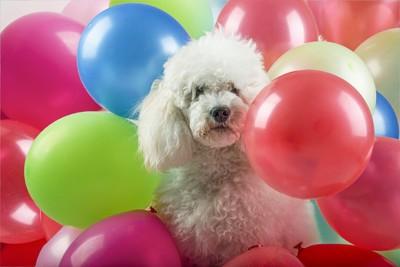 風船に囲まれている犬