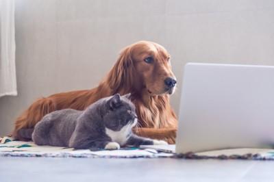 パソコンを見つめるゴールデン・レトリーバーと猫