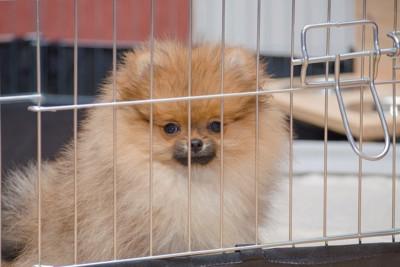 ケージの中から見つめるポメラニアンの子犬