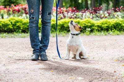 飼い主を見上げてオスワリする犬