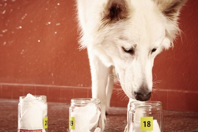 嗅覚訓練中の犬