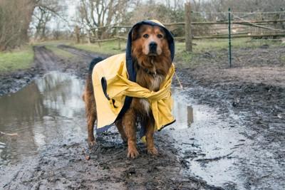 黄色のレインコートを着た犬