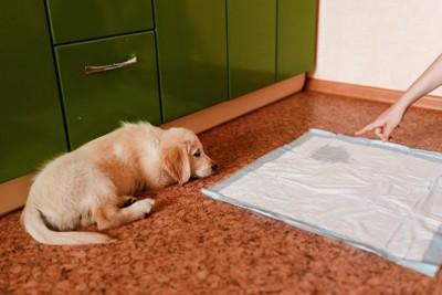 飼い主に叱られているゴールデンの子犬