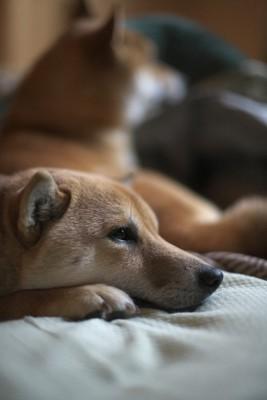 後ろの1匹とは対照的に寂しそうにしている犬