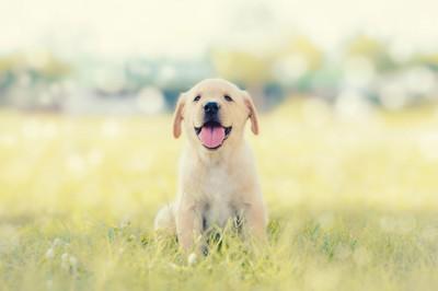 芝生の上に座る笑顔のラブラドールの子犬