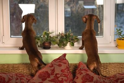 外を眺める二匹の犬