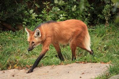 タテガミオオカミの脚は非常に長い