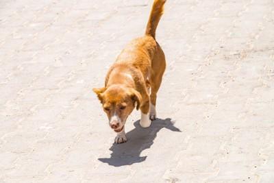 歩く茶色の犬、手足の先が白い、