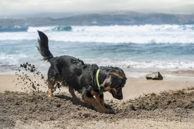 砂浜を激しく掘っている犬