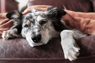 うつろな表情でソファで寝そべる犬